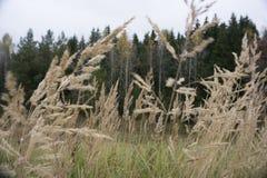 Campo de la hierba madura hibernada completamente crecida del elefante en primavera como cosecha de energía del alto rendimiento imagenes de archivo