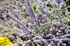 Campo de la lavanda con las abejas Foto de archivo libre de regalías