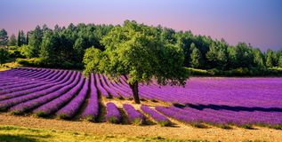 Campo de la lavanda con un árbol en Provence, Francia, en puesta del sol imagen de archivo