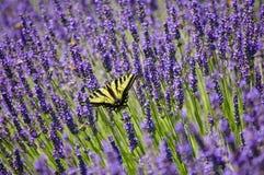 Campo de la lavanda de flores con el primer de la mariposa amarilla del swallowtail Foto de archivo libre de regalías