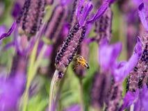 Campo de la lavanda de la abeja de la miel @ Fotos de archivo