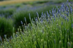 Campo de la lavanda en la floración Imagenes de archivo