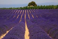 Campo de la lavanda en Provence, Francia Imágenes de archivo libres de regalías
