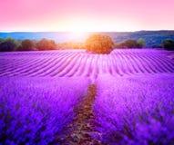 Campo de la lavanda en Provence, Francia Lavanda floreciente Imagen de archivo libre de regalías