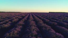 Campo de la lavanda en Provence y puesta del sol hermosa sobre las tierras de labrantío almacen de metraje de vídeo