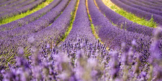 Campo de la lavanda, Provence Fotografía de archivo