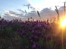 Campo de la lavanda de la puesta del sol imagen de archivo libre de regalías
