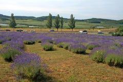 Campo de la lavanda, Tihany, Hungría Fotografía de archivo