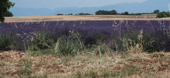 Campo de la lavanda y de trigo en Provence, Francia Fotos de archivo