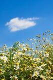 Campo de la manzanilla en un fondo del cielo azul Fotos de archivo