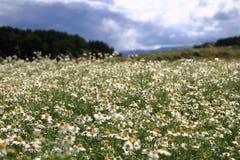 Campo de la manzanilla y cielo azul Fotos de archivo libres de regalías