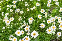Campo de la margarita grande del jardín en un día soleado con el insecto Imagenes de archivo