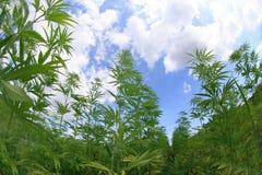 Campo de la marijuana Fotografía de archivo