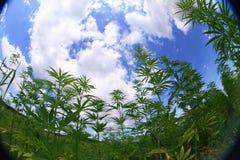Campo de la marijuana Foto de archivo libre de regalías