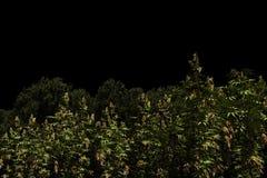 Campo de la marijuana Fotos de archivo