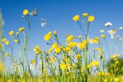 Campo de la mariposa del blanco de col Foto de archivo libre de regalías