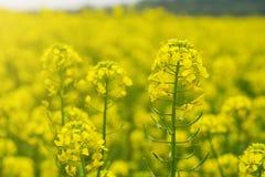 Campo de la mostaza en comienzo del verano, durante período floreciente Fotos de archivo libres de regalías