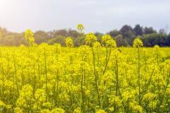 Campo de la mostaza en comienzo del verano, durante período floreciente Imágenes de archivo libres de regalías