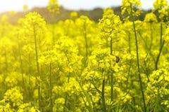 Campo de la mostaza en comienzo del verano, durante período floreciente Fotografía de archivo libre de regalías