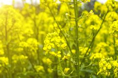 Campo de la mostaza en comienzo del verano, durante período floreciente Imagen de archivo libre de regalías