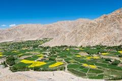 Campo de la mostaza en Leh Ladakh, la India fotografía de archivo