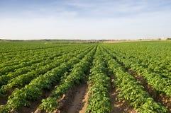 Campo de la patata Foto de archivo