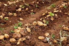 Campo de la patata Fotografía de archivo