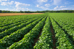 Campo de la patata y de trigo Fotografía de archivo