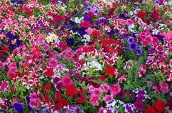 Campo de la petunia Imagen de archivo libre de regalías