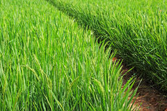 Campo de la planta de arroz Imagenes de archivo