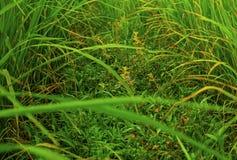 Campo de la planta de arroz Foto de archivo libre de regalías