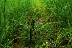Campo de la planta de arroz Foto de archivo