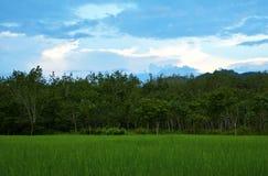 Campo de la planta de arroz Imagen de archivo libre de regalías