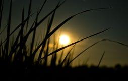 Campo de la planta de arroz en el cielo oscuro Imagenes de archivo