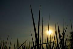 Campo de la planta de arroz en el cielo oscuro Fotografía de archivo