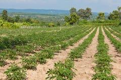 Campo de la planta de la agricultura de las tierras de labrantío de la mandioca o de la mandioca Imágenes de archivo libres de regalías