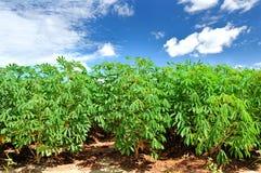 Campo de la planta de la mandioca. Fotografía de archivo
