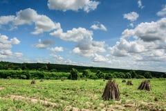 Campo de la planta de la mandioca o de mandioca en Tailandia Imagen de archivo