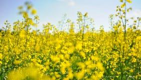 Campo de la planta de la violación de semilla oleaginosa en el verano, República Checa Fotos de archivo