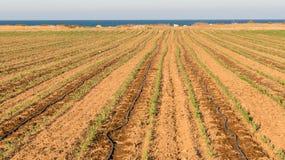 Campo de la planta de maíz Fotos de archivo libres de regalías