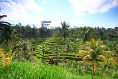 Campo de la planta del árbol de la isla de Bali de la terraza del arroz Imagen de archivo libre de regalías