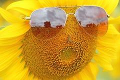 Campo de la plantación de los girasoles de las gafas de sol Foto de archivo libre de regalías
