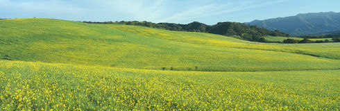 Campo de la primavera, semilla de mostaza, cerca del lago Casitas, California Foto de archivo