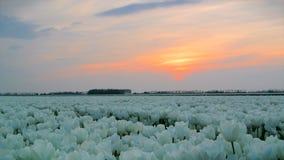 Campo de la puesta del sol de los tulipanes