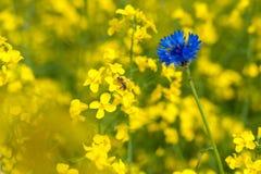 Campo de la rabina con aciano y la abeja azules brillantes en el CCB amarillo Fotografía de archivo