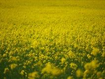 Campo de la rabina con las flores amarillas Imágenes de archivo libres de regalías