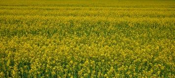 Campo de la rabina en Bielorrusia Muchas flores y color amarillo verde fotografía de archivo