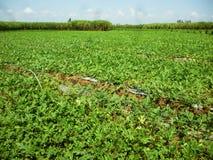 Campo de la sandía de la agricultura Foto de archivo libre de regalías