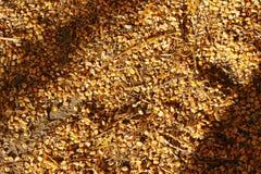 Campo de la semilla del maíz que pone en la tierra fresca de la caída Imagen de archivo libre de regalías