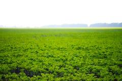 Campo de la soja Foto de archivo libre de regalías